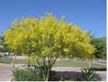 Blooming Palo Verde